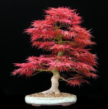 acer-palmatum-seigen