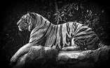 Animals-HD-Wallpaper-Royal-Bengal-tiger