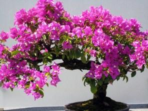 bonsai bougainvillea2
