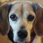 My Beagle's Age? Just Don't Ask