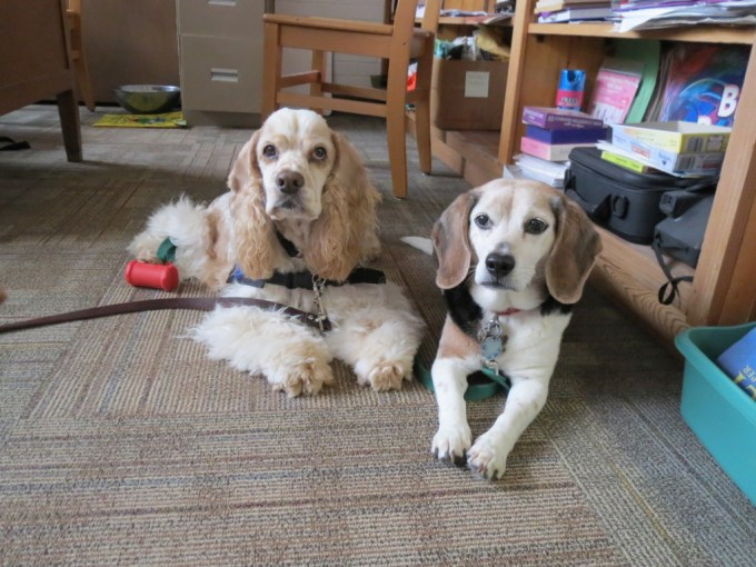 Beagle and Cocker Spaniel