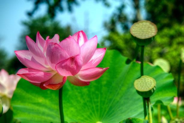 Kenilworth-Aquatic-Gardens-20150816-SAM_4956_7_8_tonemapped_tonemapped