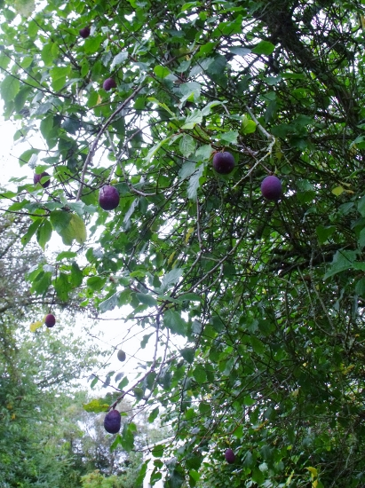 plums appear as autumn deepens