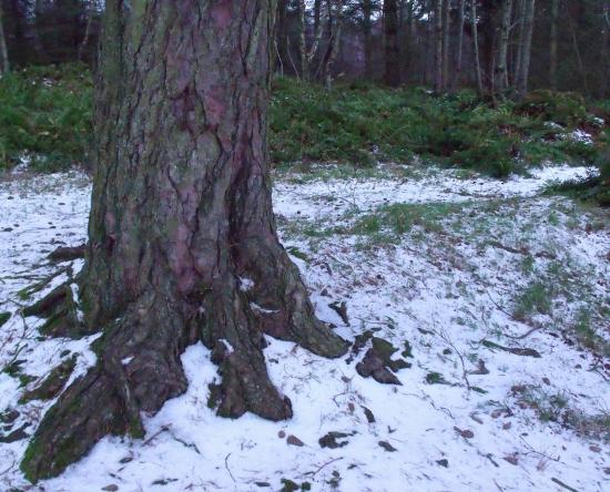 Scots Pine in snow - Ailish Sinclair, author