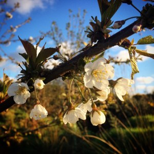 Wild Scottish cherry blossom.