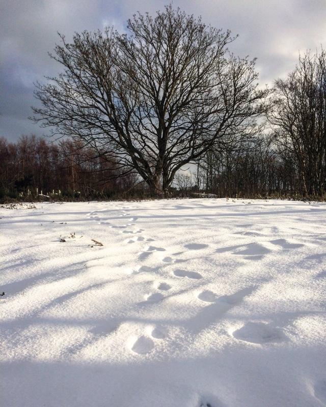tree and fox tracks
