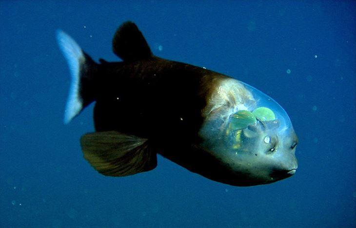 頭部が透明になっている深海魚