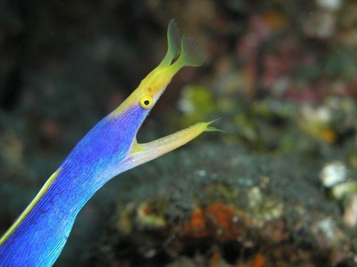深海魚のハナヒゲウツボ