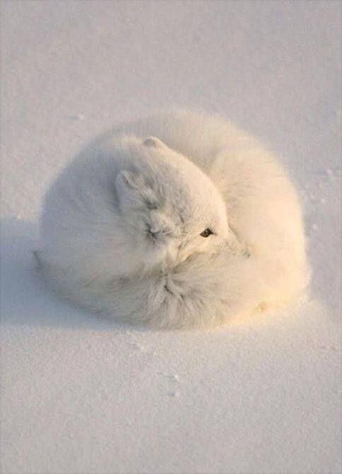 雪みたいなキツネがかわいい
