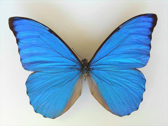美しい蝶 12.0