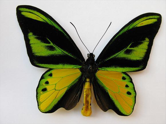 美しい蝶 19.0