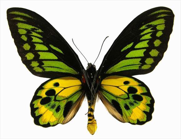 美しい蝶 20.0