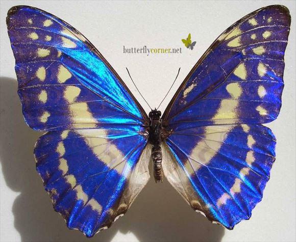 世界で最も美しい蝶40種(チョウ図鑑・画像)