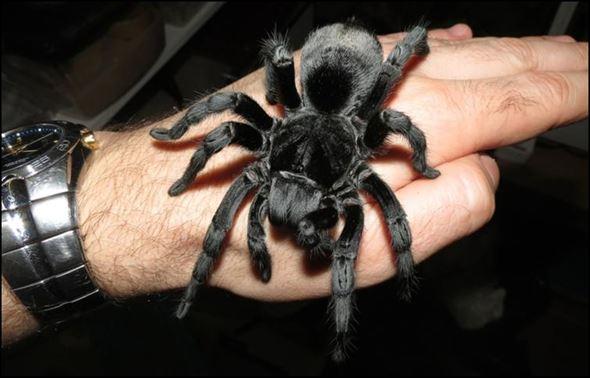 【キモ可愛い】タランチュラ・蜘蛛の種類と有毒性(図鑑・画像45種)
