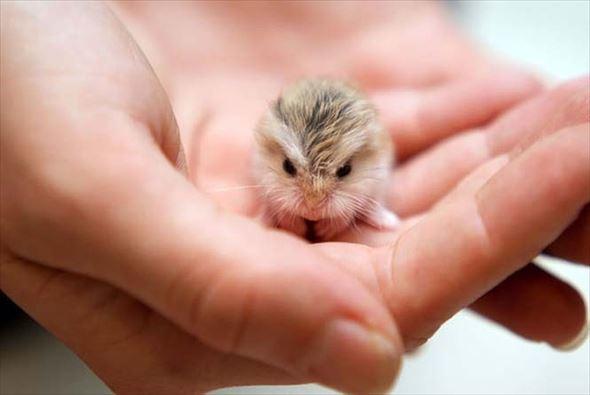 小さくてかわいいハムスター