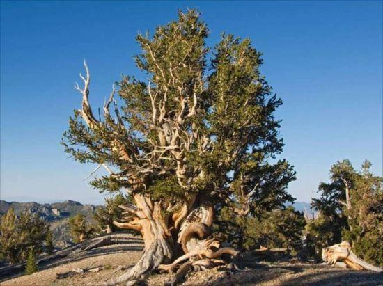 あり得ないくらい長生き!現存する樹齢の長い木10種