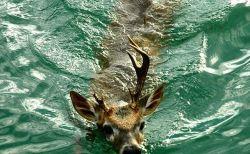 白いシカなど鹿の興味深い豆知識・生態(シカ科)