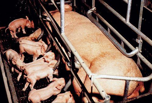 豚や鶏など家畜が置かれている悲惨な環境について知っておきたいこと