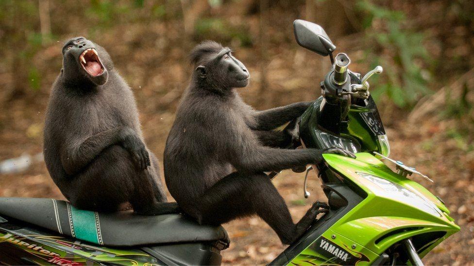 monkeys on motorcycle