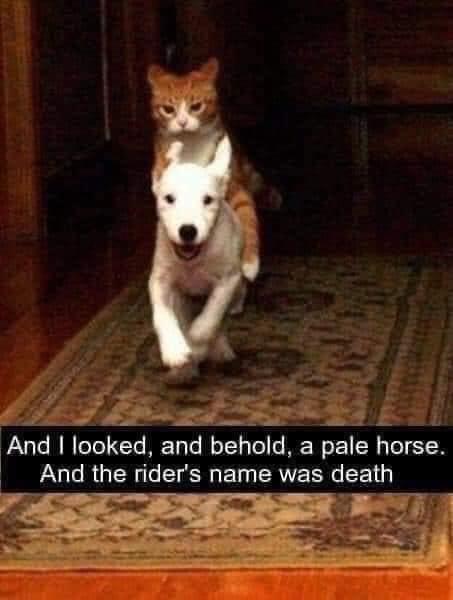 cat rides dog