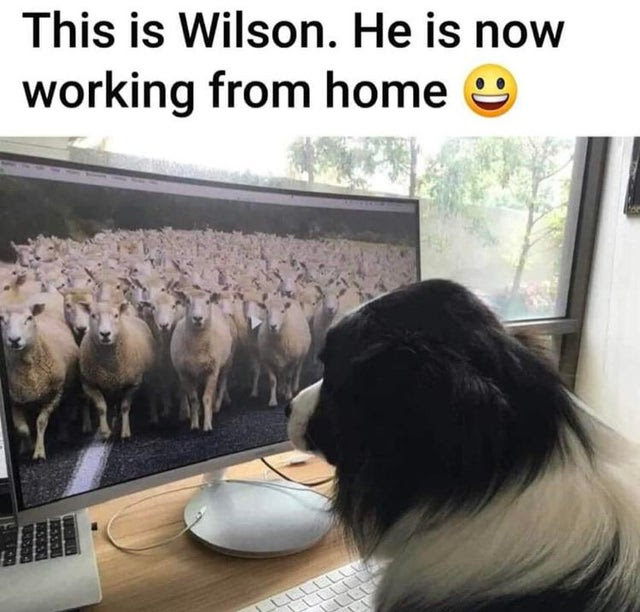wilson sheep dog