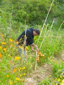 Jardins collectifs - récolte tomates