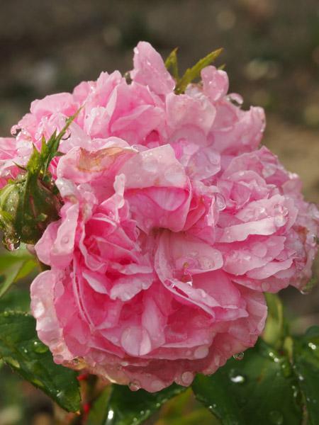 Sydonie Rose