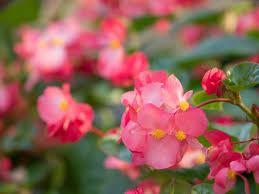 本日よりお花の苗をプレゼントいたします。