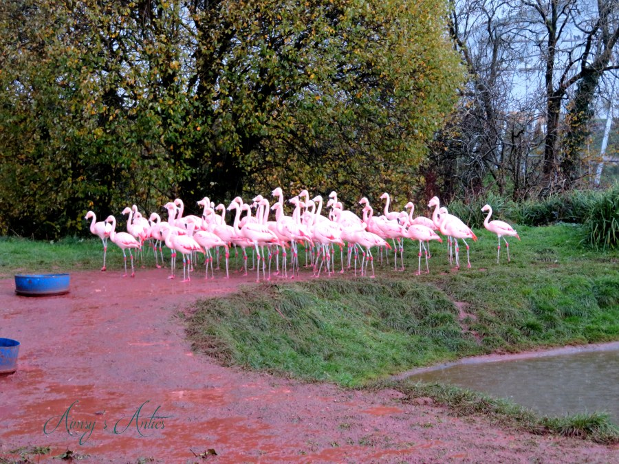 A flock of flamingos at South Lakes Safari Zoo