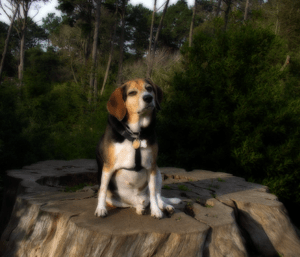 Beagle sitting on a stump.