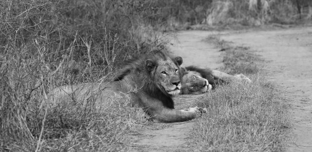 /two brother lions lying down