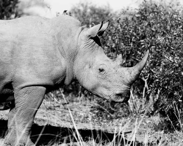 Rhino conservation efforts in South Africa