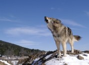 wolf_reference_45