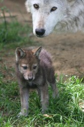 wolf_reference_7