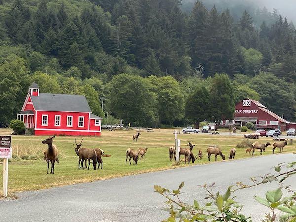 Herd of elk outside Elk Country RV Park in Orrick, California