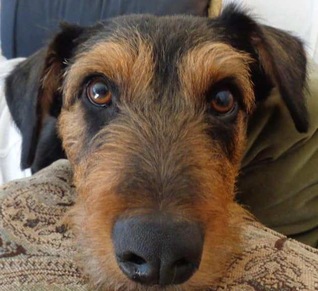 Millie, 18-month Female, NC, Airedale Rescue Group, Adopted June 2021