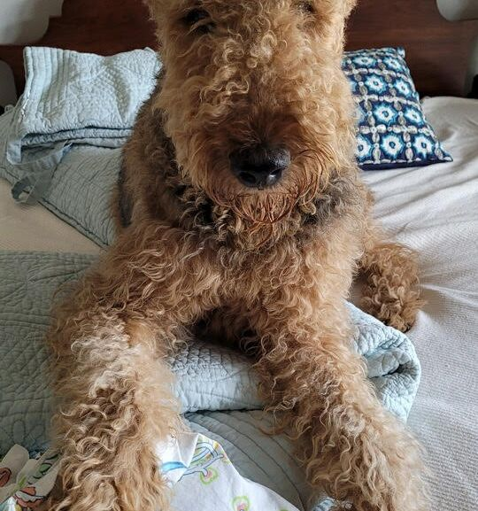 Tootles, 5 yr old Male/Neutered, AL, Airedale Rescue Group, Available