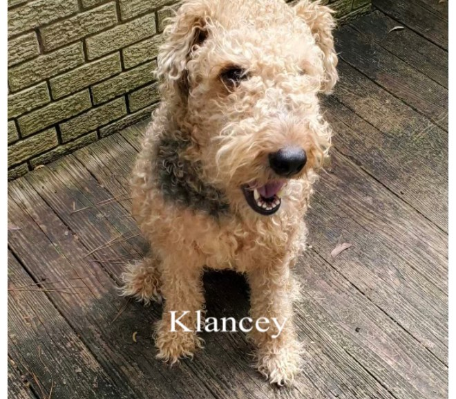 Klancey, 5 yr old Female Spayed, AL, Airedale Rescue Group, Adopted May 2021