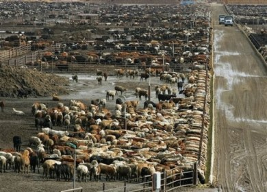 ** FILE ** Beef cattle roam the Harris Ranch farms Friday, Jan. 25, 2008 in Coalinga, Calif. Higher food inflation would further challenge shoppers who are already limiting themselves to sale items and store brands as they contend with the worst food inflation since 1990. (AP Photo/Gary Kazanjian, file)
