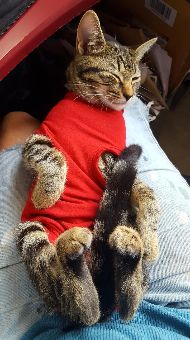 Retho, a five-month old tabby kitten, is dressed in a red surgical coat, lying on her back, on Tina's lap.