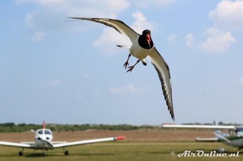 Angry Birds LIVE! / Scholekster defending territorium