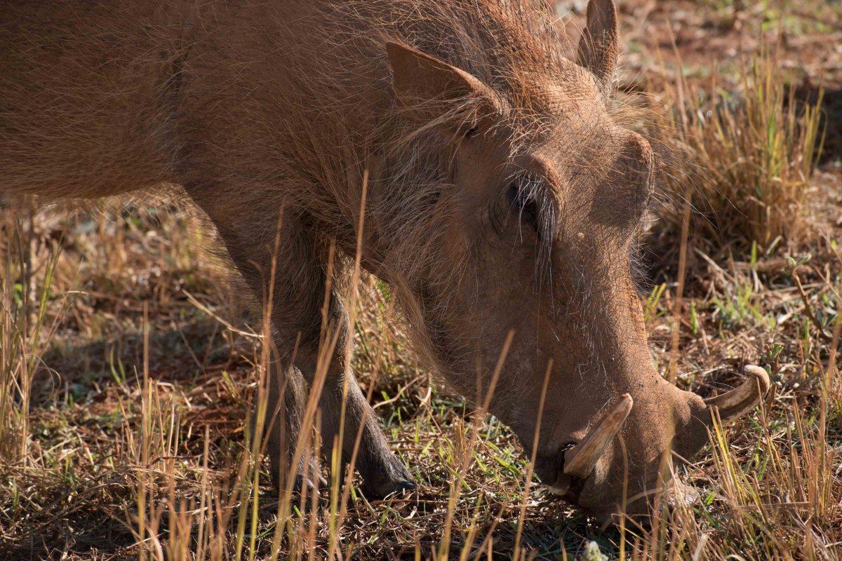 Warthog - Mlilwane Wildlife Sanctuary