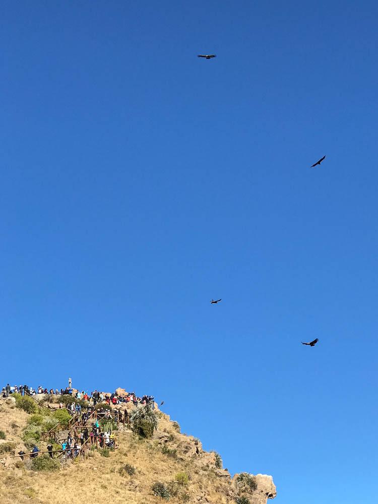 Colca Canyon condors