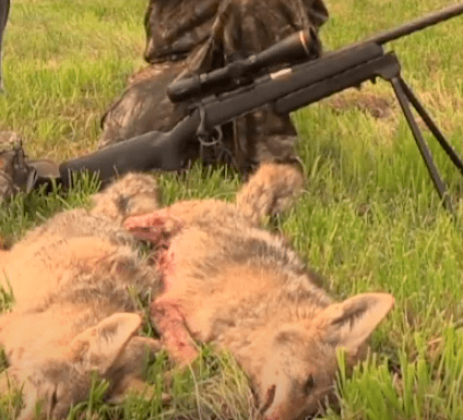 top Rifle To Use For Coyote Hunting