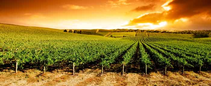 sunset-over-vineyard