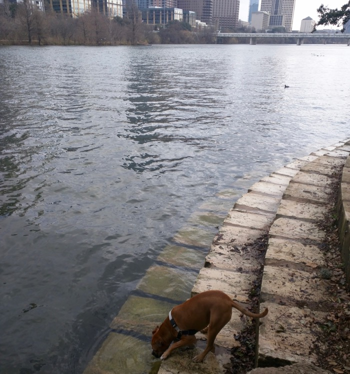 dog drinking from town lake austin