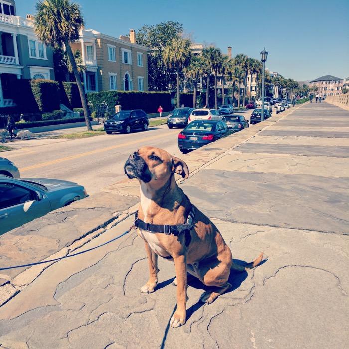 dog along charleston battery promenade