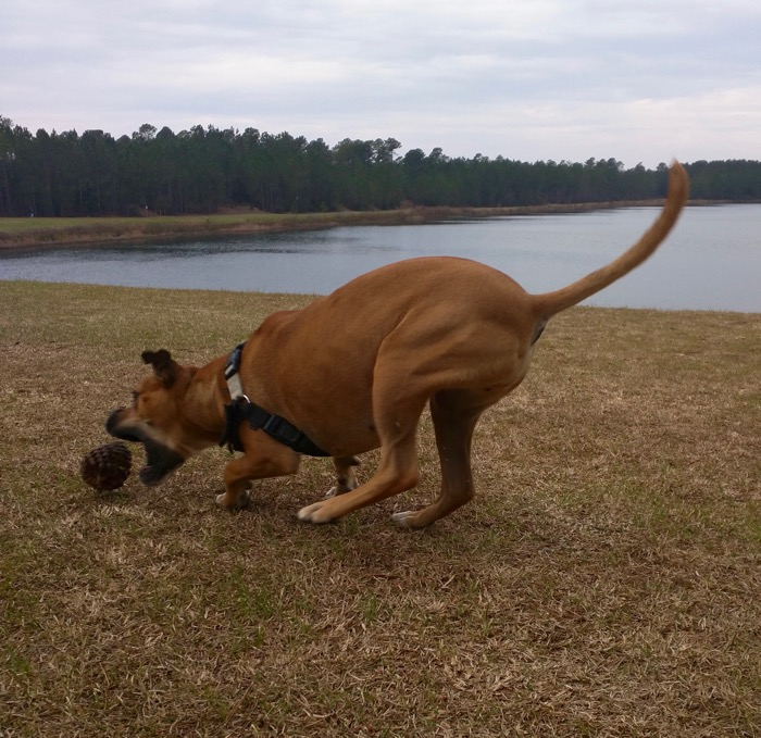 dog playing with pinecone