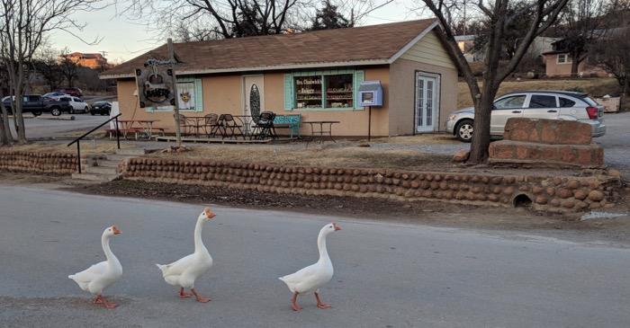 geese in Medicine Park