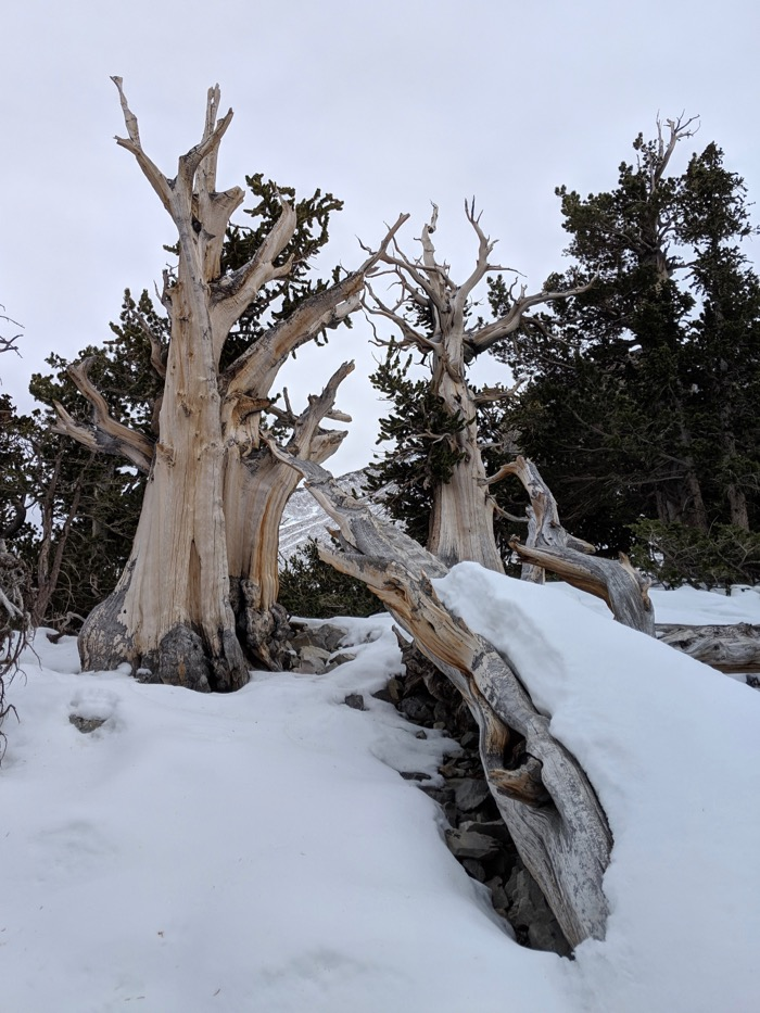 Bristlecone Pines Great Basin